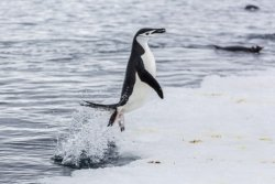 An adult chinstrap penguin jumps out of the sea at Port Lockroy, Antarctica