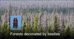 Iconic Western forests decimated by beetles